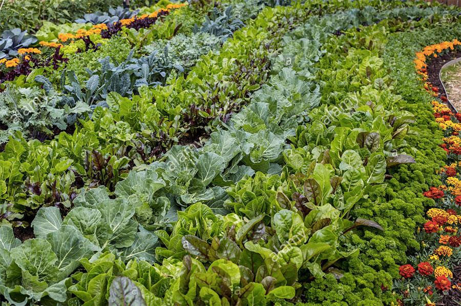 legumes-fleurs